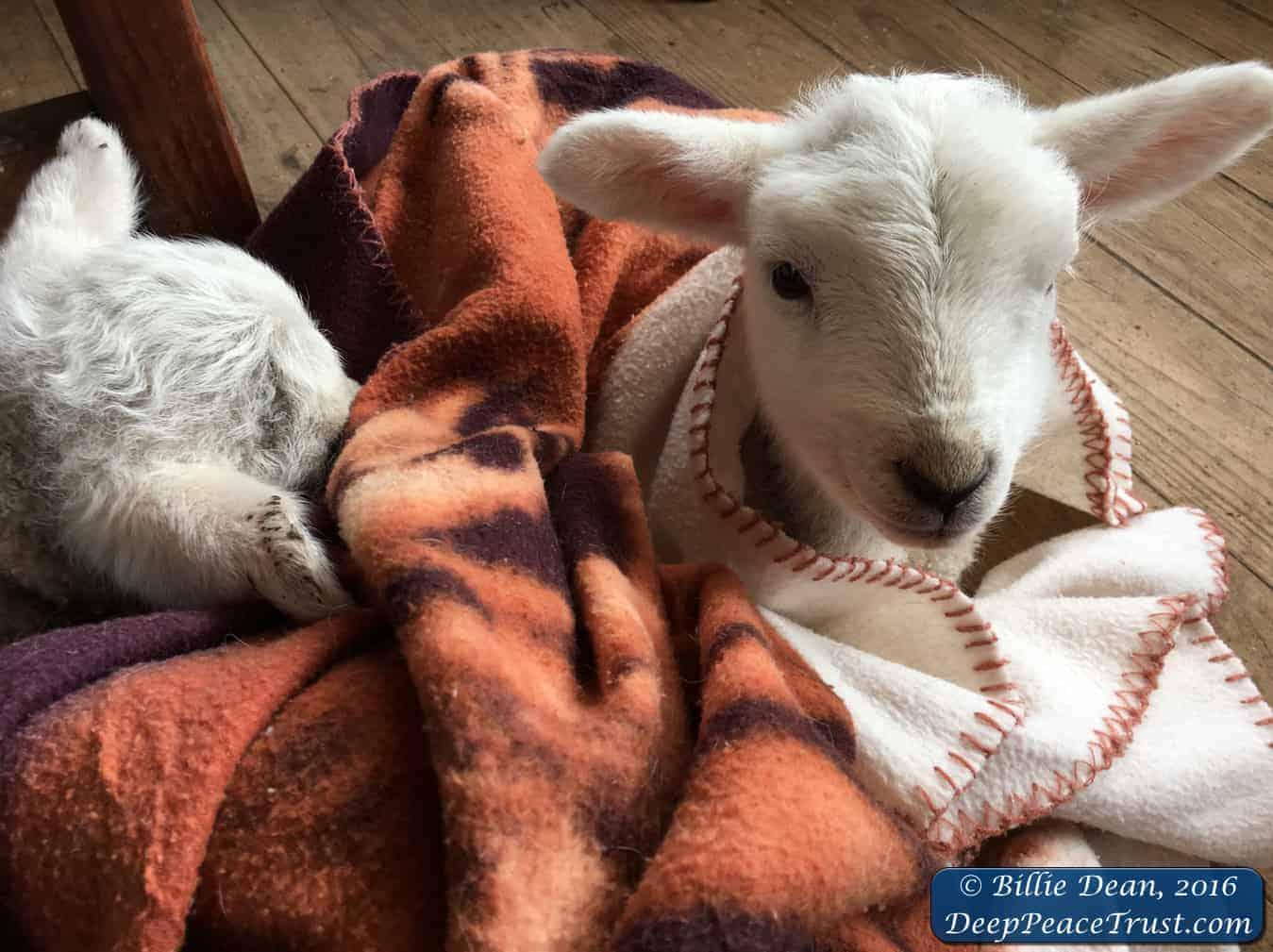 40+ New Lamb Souls (Have lost count!)